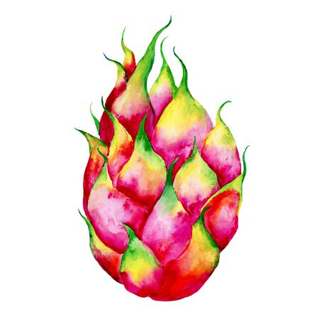 Hand drawn watercolor illustrations of dragon fruits pitaya isolated. Pitahaya sketch. Summer food illustration, tropical fruit. Healthy life style painting. Hand drawn clip art. Zdjęcie Seryjne