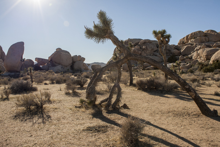 joshua: Joshua Tree National Park