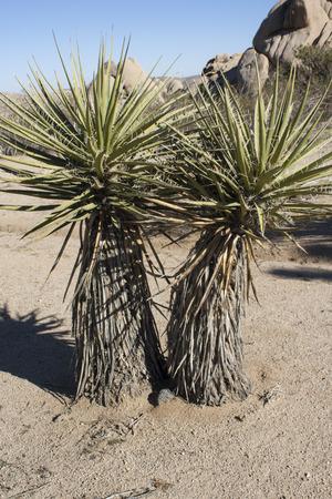 yucca: Yucca Tree