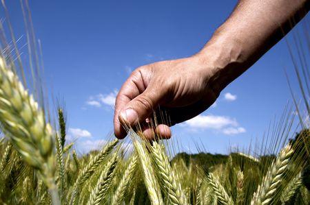 hand and grain field