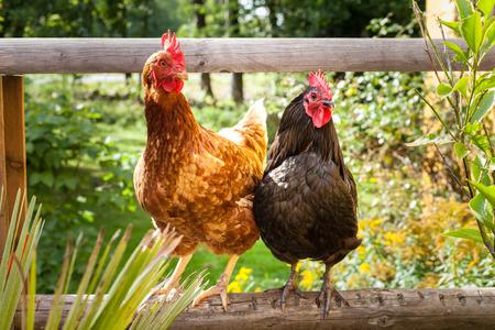 animales de granja: Pollo feliz
