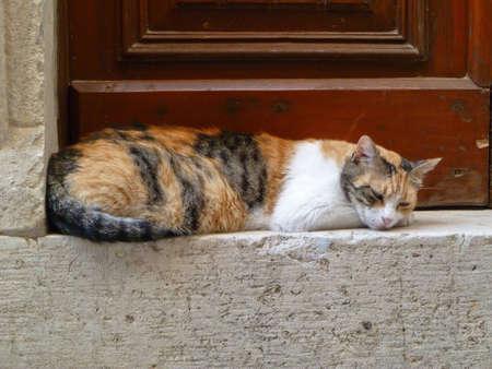 calico: peaceful calico cat