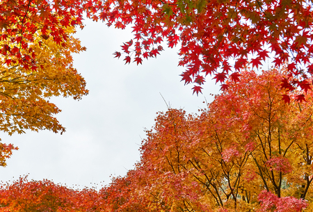Maple leaves in autumn. Colorful Japanese maple leaves branch on dusky day.