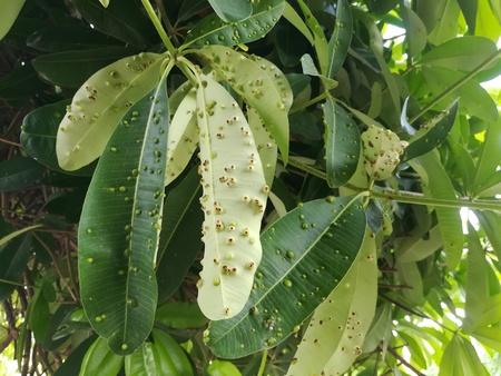 Plant Pathology, Gall midge in Devil tree leaf.