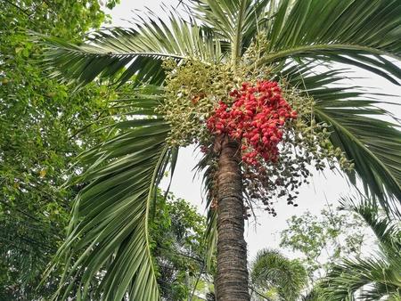 Betel palm or betel nut
