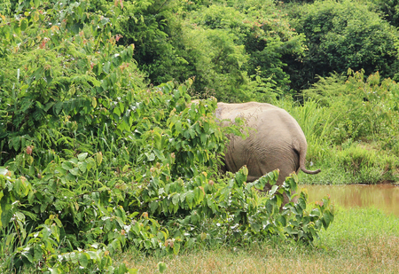 Wild Asian elephant is escaping into the forest. Wild elephant at Kui Buri National Park, Thailand. Stockfoto