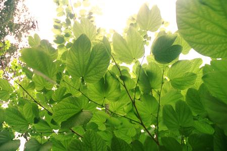leguminosae: Butterfly tree