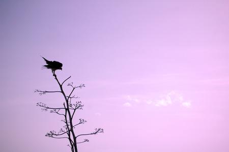 osprey: Osprey silouhette sunset scene Stock Photo