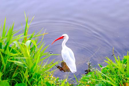 gill: White Ibis Bird on the lake