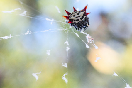 floridian: Spiny Spider Stock Photo