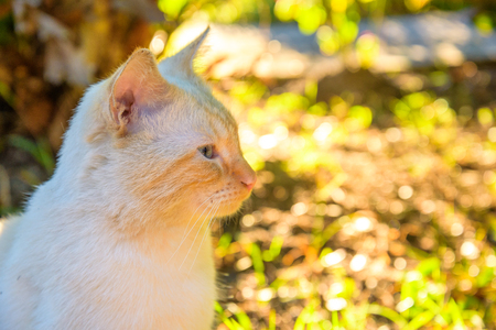 shorthair: The Beige American Shorthair Cat in the park Stock Photo