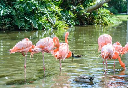 flamenco ave: El p�jaro rosado del flamenco en el lago en el parque