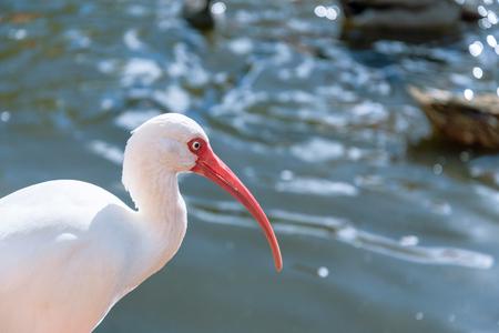 ibis: The White Ibis bird in the park