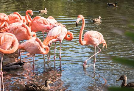 flamenco ave: El pájaro rosado del flamenco en el lago en el parque