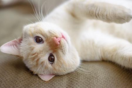 cabello corto: gato de pelo corto americano en el sal�n Foto de archivo