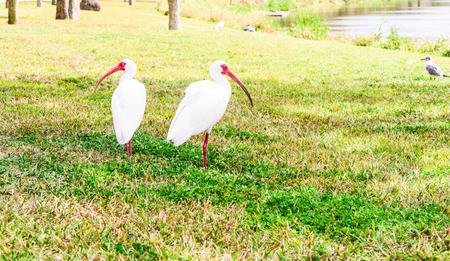 White Ibis birds in the lake park