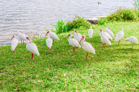 ibis: White Ibis birds in the lake park