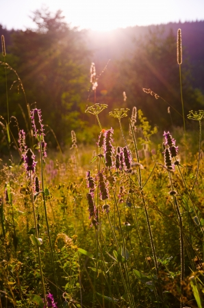 Violet meadow flowers with lens flare in warm sunset light   photo