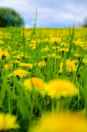 A beautiful view of a spring   summer meadow covered with vivid yellow dandelions flowers and blue sky background Stock Photo - 27302240