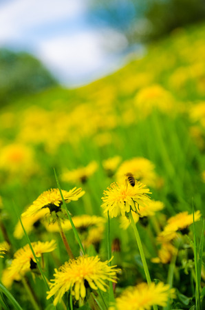 A closeup of honey bee on a spring   summer meadow covered with vivid yellow dandelions flowers and cloudy blue sky background  photo