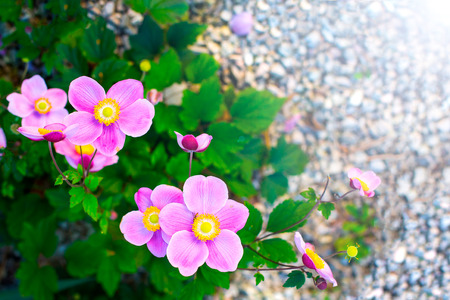 Closeup of Japanese Anemone Windflower flowers in pink with yellow stamens in garden Anemone hupehensis vel japonica. Sunlight Stock Photo