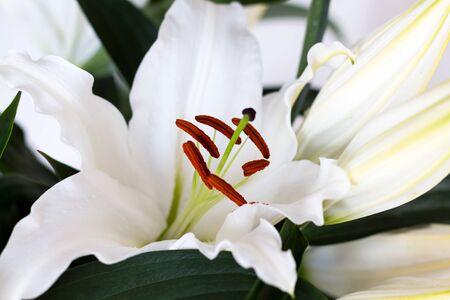 Stamen and pistil of white flower Lilium candidum, close up. Madonna Lily. Imagens