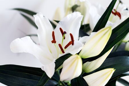 White flower Lilium candidum with buds, close up, view from above.