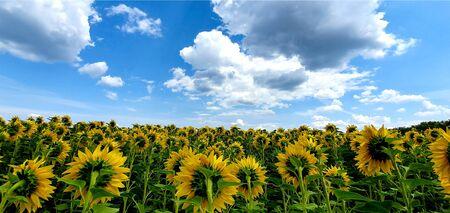 sunflower field over cloudy blue sky.