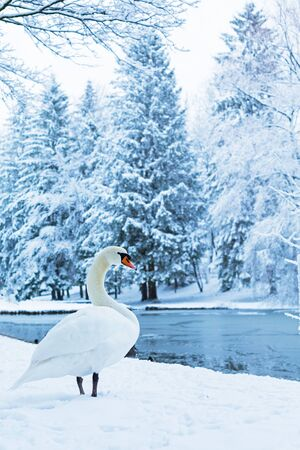 The lonely beautiful white swan is walking by the lake. Winter landscape with swan. Vertical.