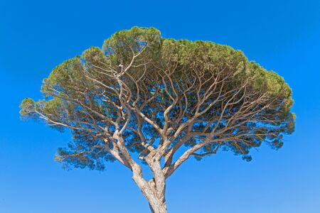 Beautiful pine tree in Capri, Italy. Bottom view, postcard. 스톡 콘텐츠 - 131951852
