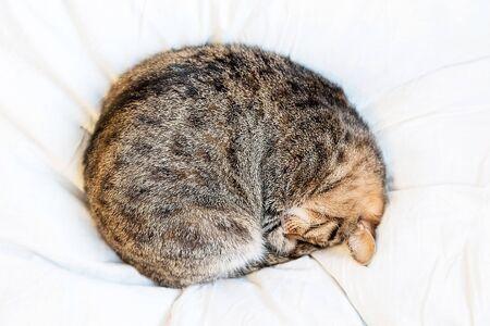 In der Kugel schlafende Katze auf weißem Bett verdreht. Fauler Tag. Katze rollte sich zu einem Ball zusammen. Standard-Bild