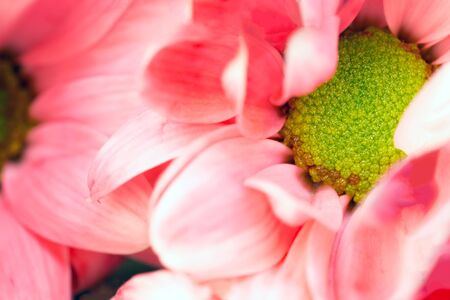 Macro background of Pink Daisy flower. Close up photo with shallow depth of field