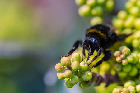 Macro of Bee collec nectar from blooming yellow flower, mahonia. Bright summer spring background, copy space. Banco de Imagens