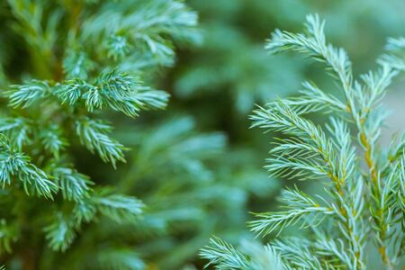 Close-up of fir tree branches, beautiful blue green background