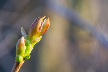 Green buds on branches in spring. Nature and blooming in spring time. Bokeh light background Banco de Imagens