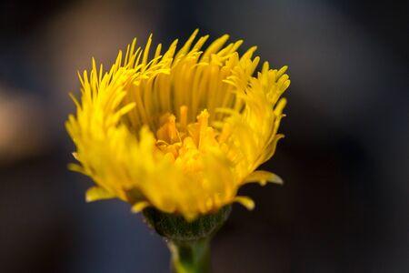 Yellow flower on dark background, close up, background.