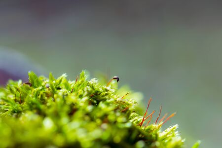 Macro of green moss in sun light, selective focus. Background, copy space.