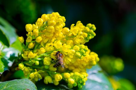 Closeup honey bee collects honey on a blooming yellow bush, mahonia. Bright summer spring background, copy space. Banco de Imagens