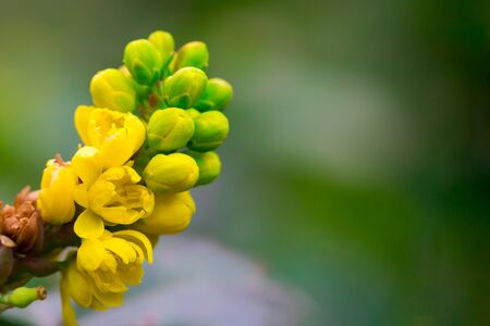 A macro shot of the yellow blossom of a mahonia bush n green background. Floral summer spring background, copy space. Banco de Imagens