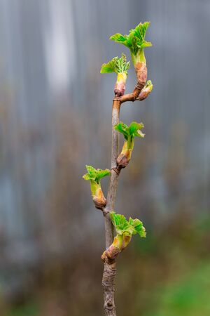 Close up of currant branches with young leaves on a gentle light background in early spring. Copy space. Banco de Imagens