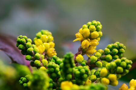 Closeup of a blooming yellow bush, mahonia. Bright summer spring background, copy space. Banco de Imagens
