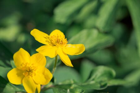 Close up of yellow spring flowers in the forest. Spring flowering meadows. Forest of brightly coloured flowers