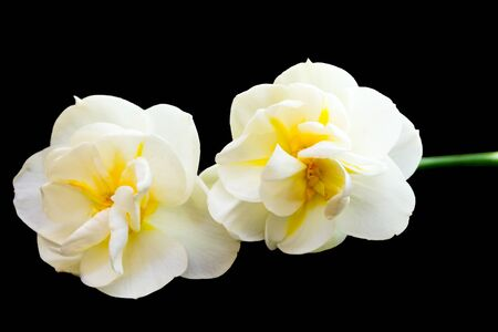 Tahiti Narcissus isolated on black background, daffodil.