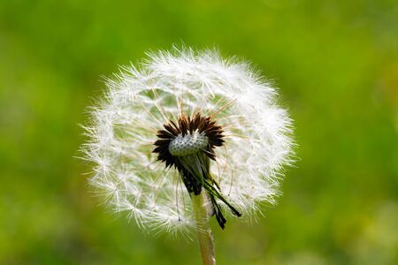Beautiful white dandelion with seeds on green background, spring floral wallpaper.