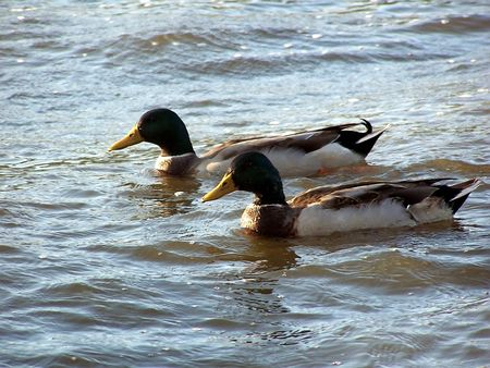 Pair of ducks photo