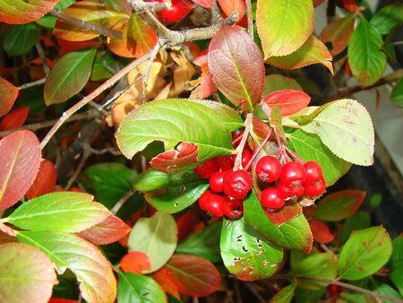 re: Re berries