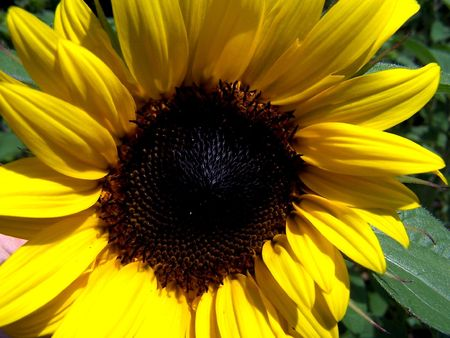 Royalty free photo of yellow bloomed sunflower Stock Photo