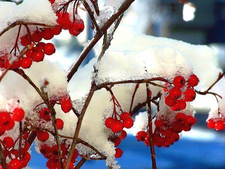 Winter wild cherries Stock Photo