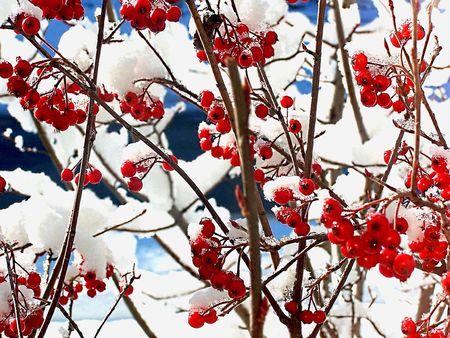 Red wild berries Stock Photo - 2108576