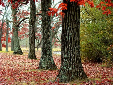 Old trees in the fall